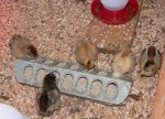 Baby chicks feeding at the feeder