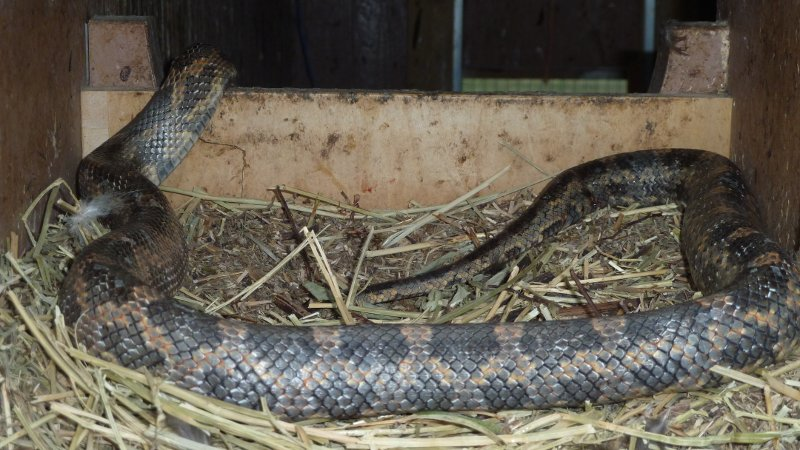 Snakes in the Coop - McMurray Hatchery Blog