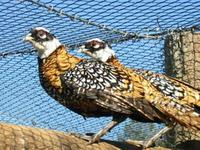 Reeves Pheasants