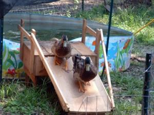 Duck Ramp