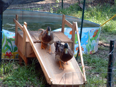 Winners for the homesteading chores ideas and for How to build a duck pen house