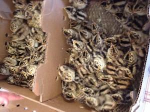 Pheasants' Arrival