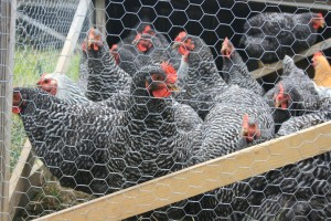 Chickens in the Mobile Coop