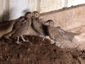 5 week Old Pheasants