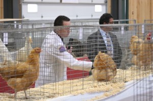 Judging the Poultry entrants