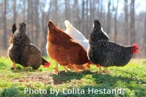 Free Ranging Chickens