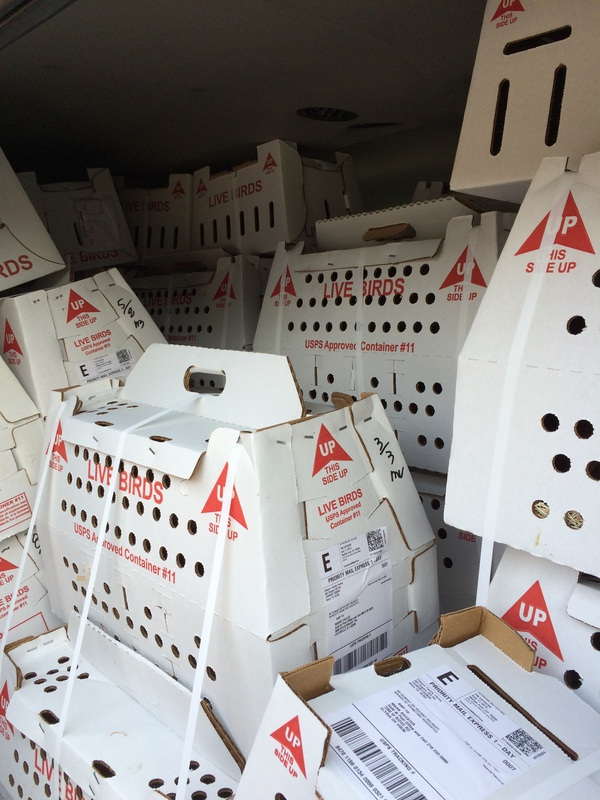 We load the boxes of chicks in our air-conditioned van and drive them to the postal center by the airport.