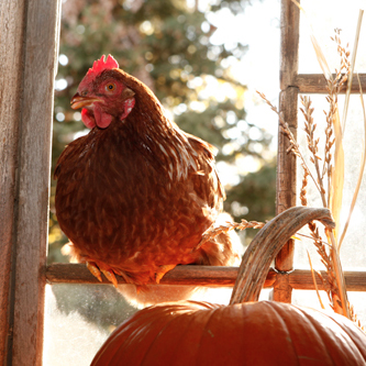 Caring for Chickens in the Fall | Molting