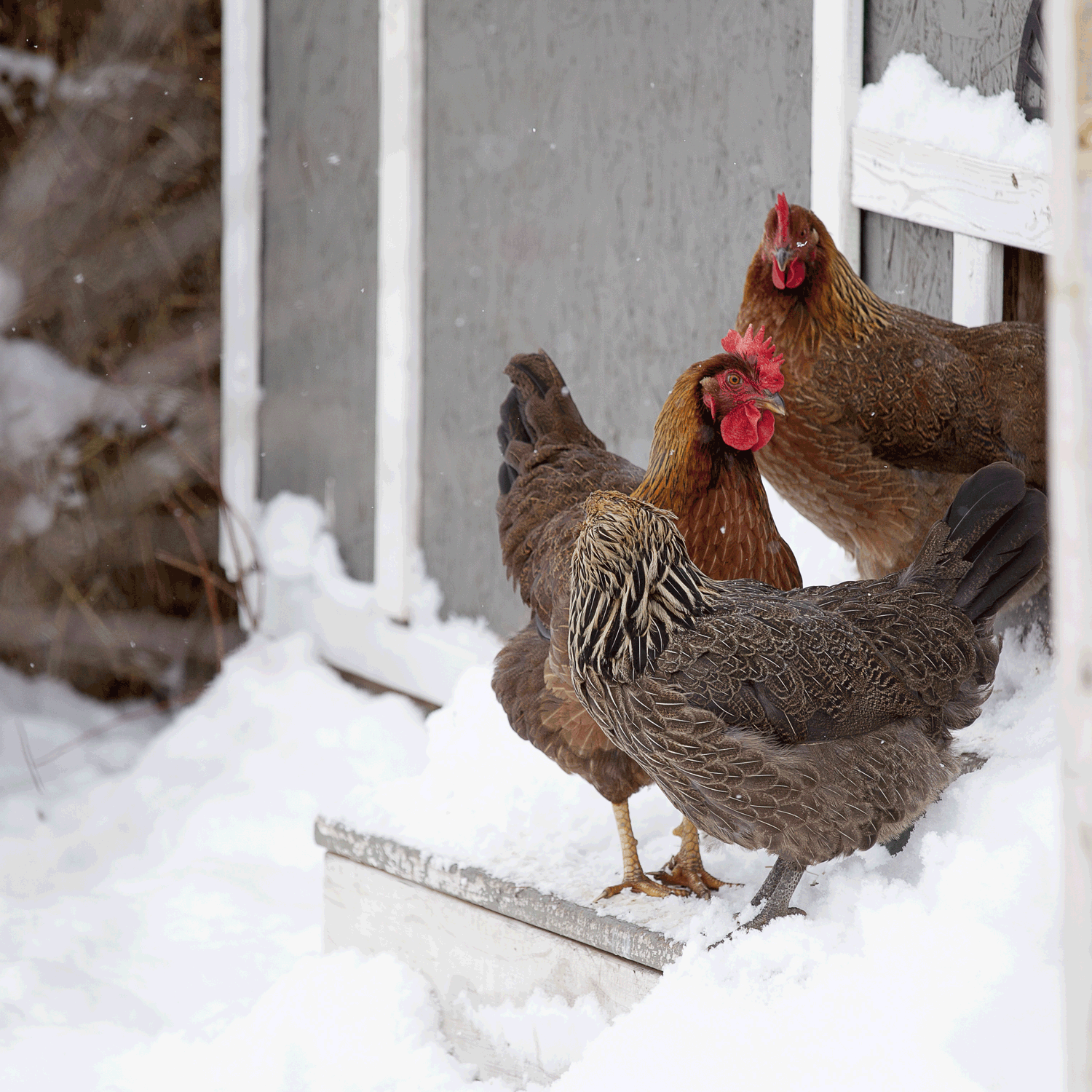 McMurray Hatchery | Top 10 Tools for Cold-Weather Coops