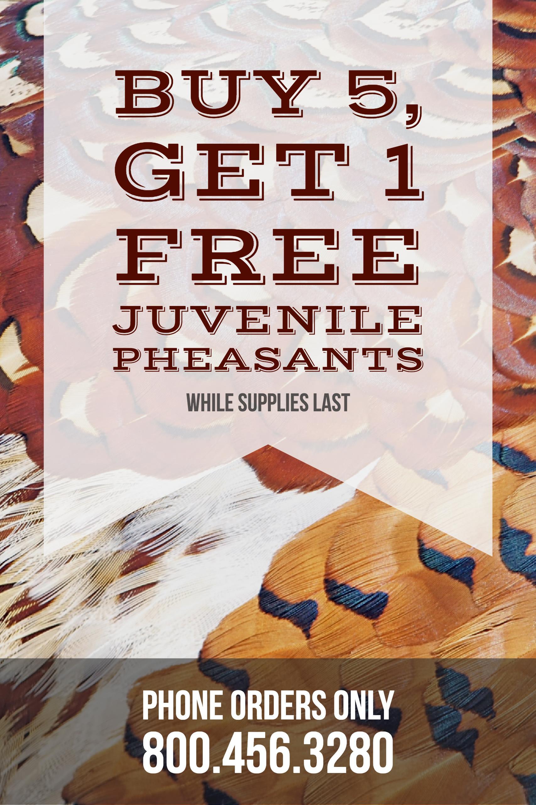 Juvenile Pheasant Sale