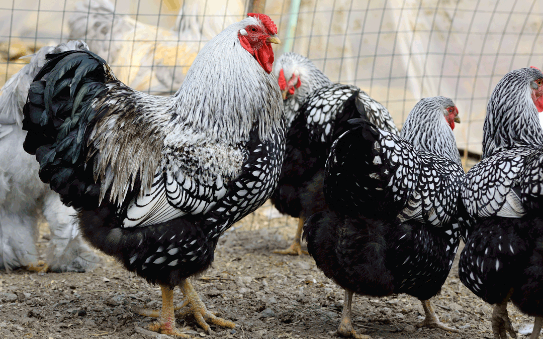 The Benefits of Roosters