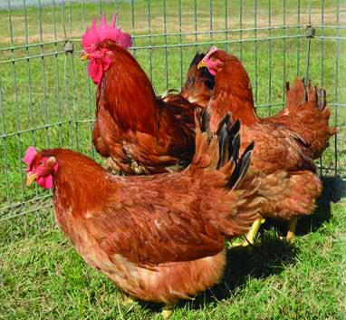 McMurray Hatchery | Red Ranger Broilers