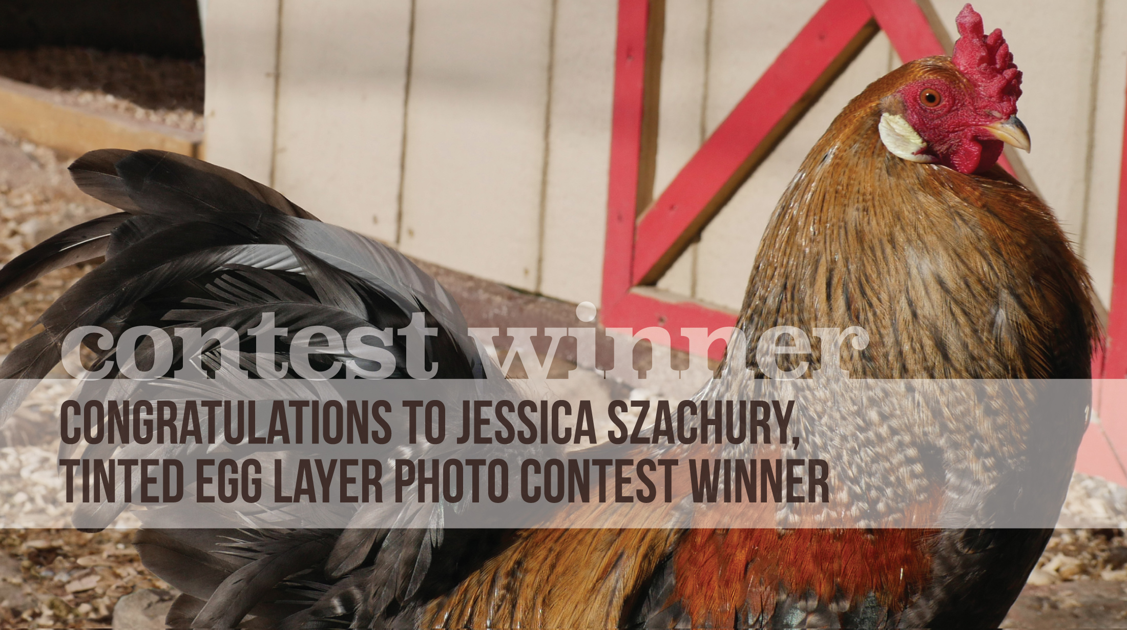 Tinted Egg Layer Photo Contest Winner Announced