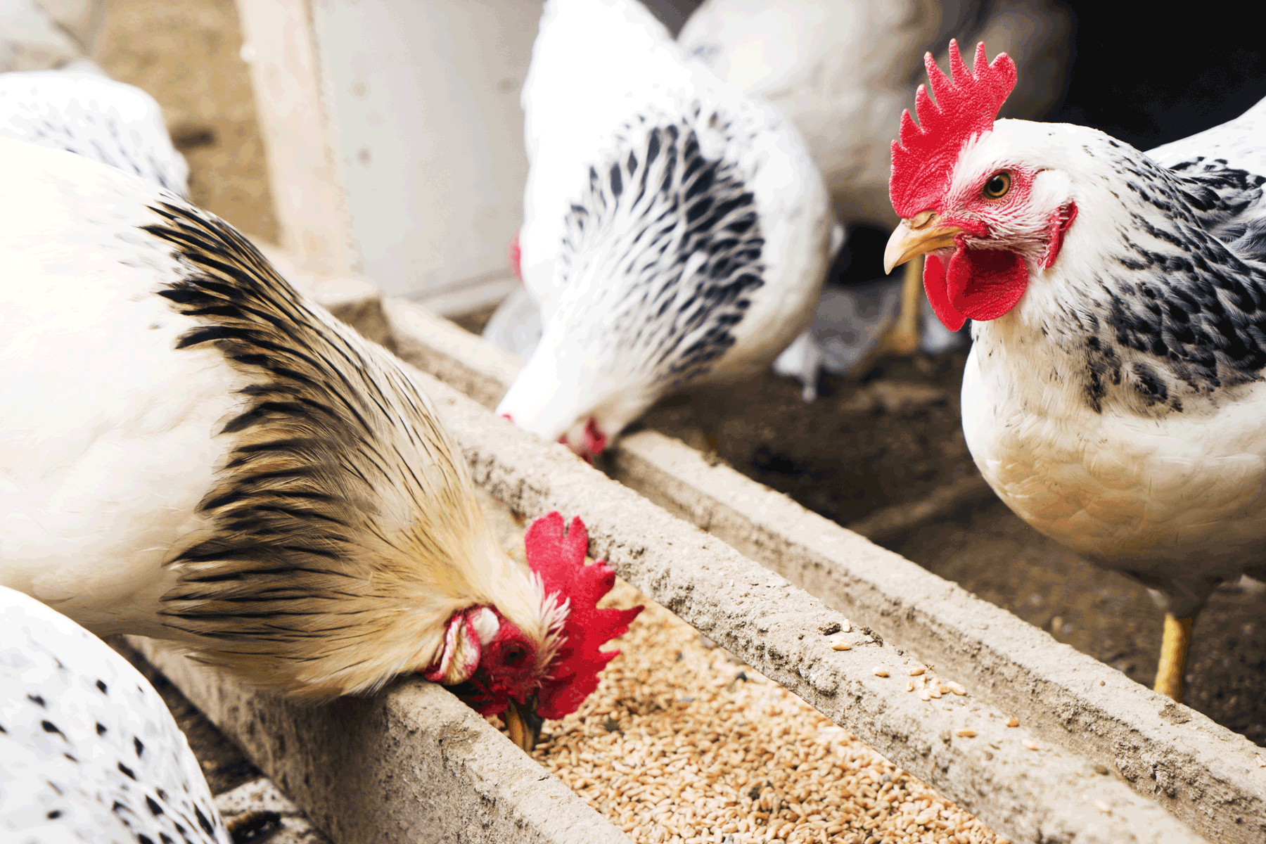 Five Basic Biosecurity Tips to Protect Your Flock