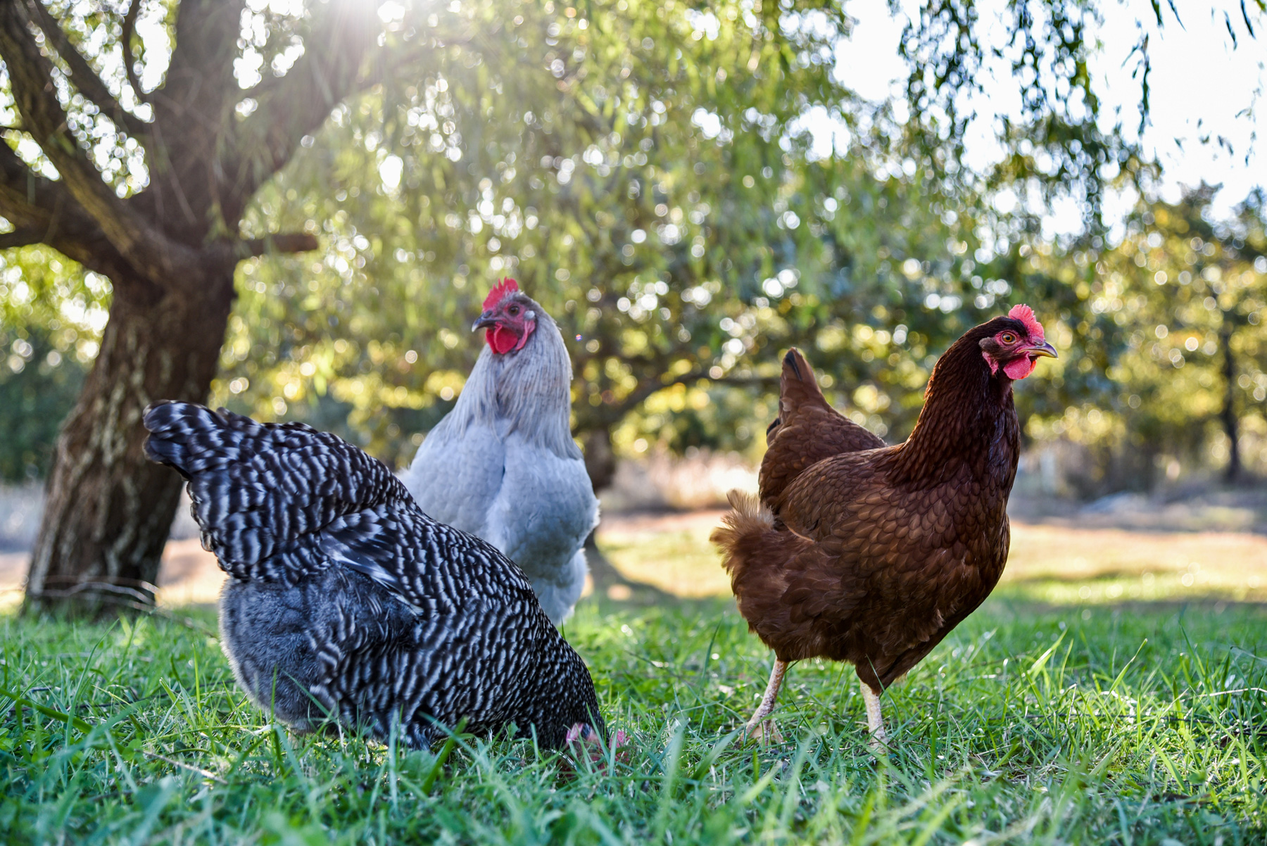 McMurrayHatchery Blog | Gail Damerow Discusses Prolapse and Egg Binding in Laying Hens
