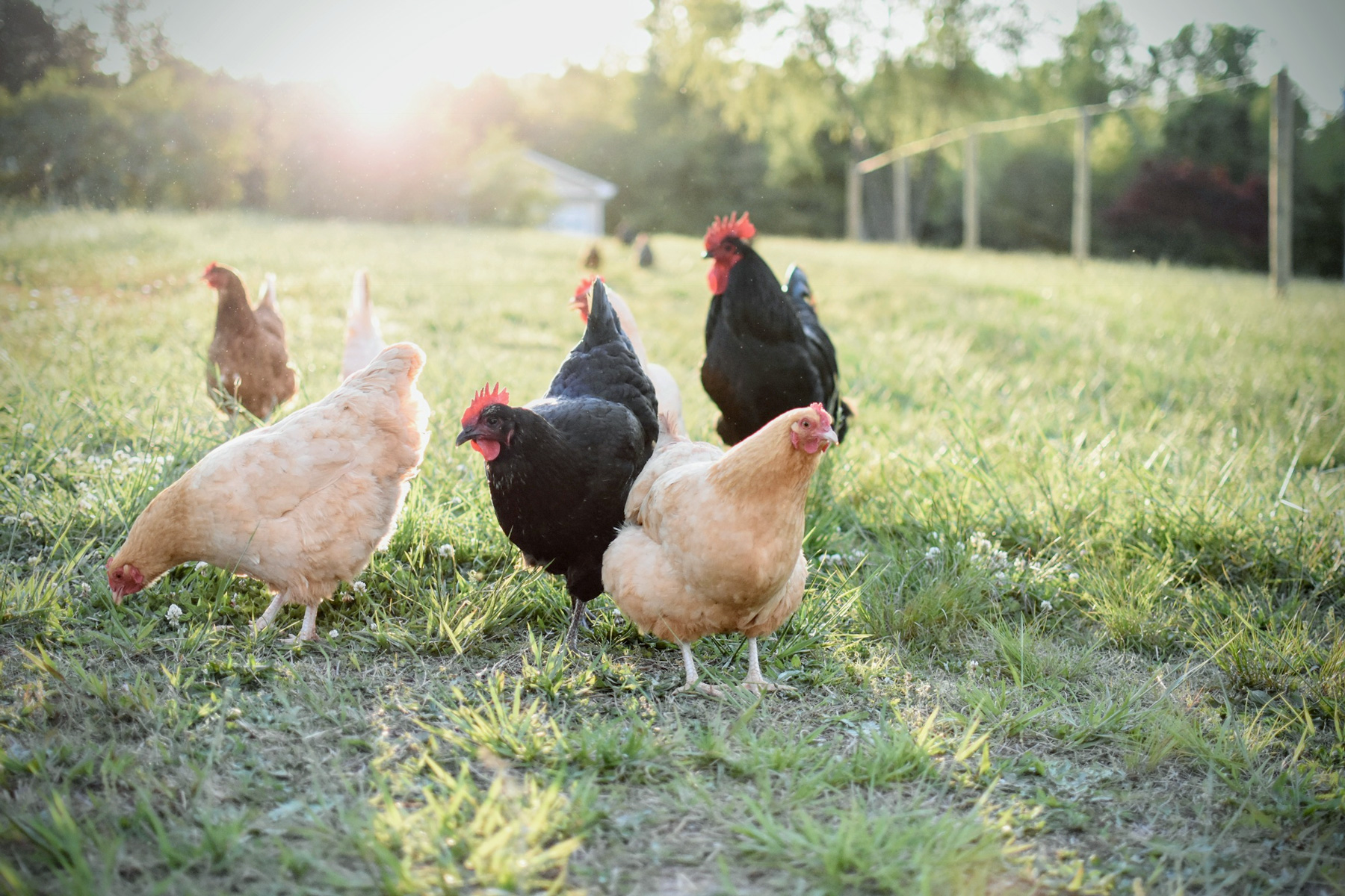 Gail Damerow Discusses a Hen's Laying Cycles and Life Span
