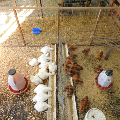 McMurray Hatchery | Iowa 4-H Meat Bird Comparison