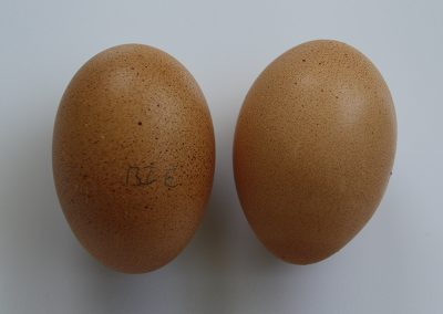 McMurray Hatchery   Brown Egg Layers   Bielefelder Eggs