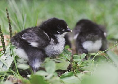 McMurray Hatchery | New for 2019 | French Black Copper Marans Day-Old Baby Chicks