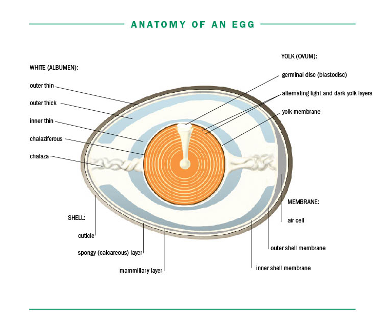 McMurray Hatchery | Storey's Guide to Raising Chickens by Gail Damerow | Anatomy of an Egg