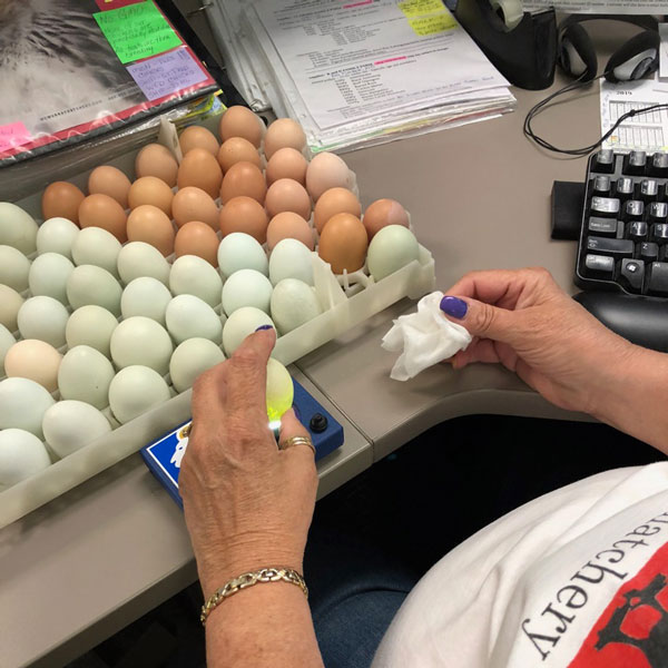 McMurray Hatchery 2019 Egg Drive - Candling Eggs