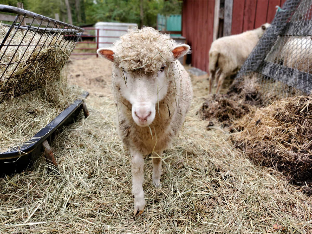 McMurray Hatchery - Homesteading For Beginners - Mini Farm - Sheep