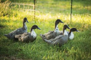 McMurray Hatchery - Homesteading For Beginners - Raising Waterfowl - Ducks