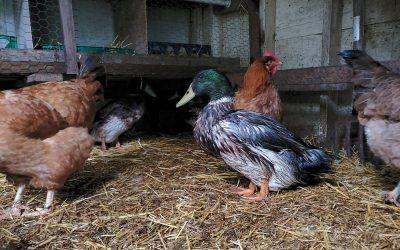 Raising Chickens with Ducks