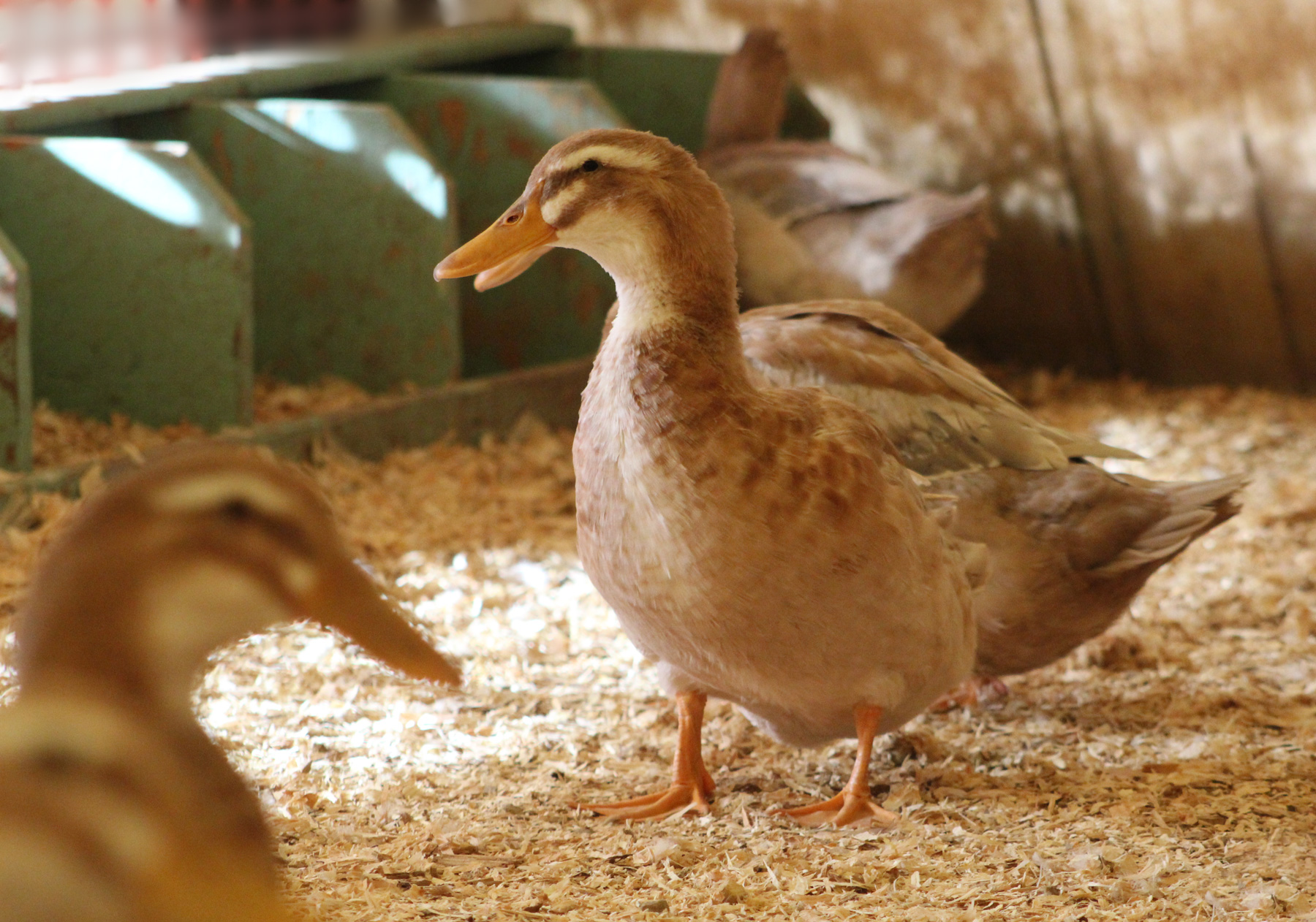 McMurray Hatchery Blog - Raising Chickens with Ducks - Nesting Boxes for Ducks