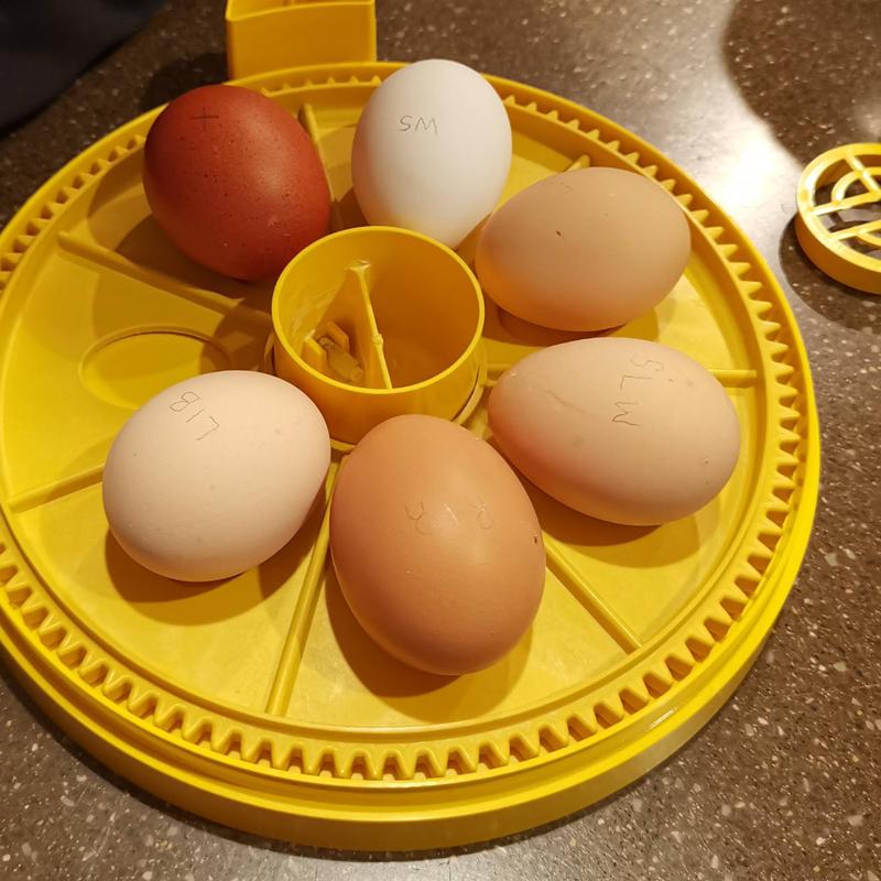 Setting hatching eggs in the Brinsea Mini Advance II incubator.
