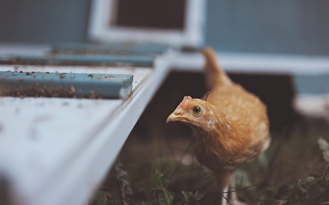 Chicken Coop Necessities | 5 Must Have Items