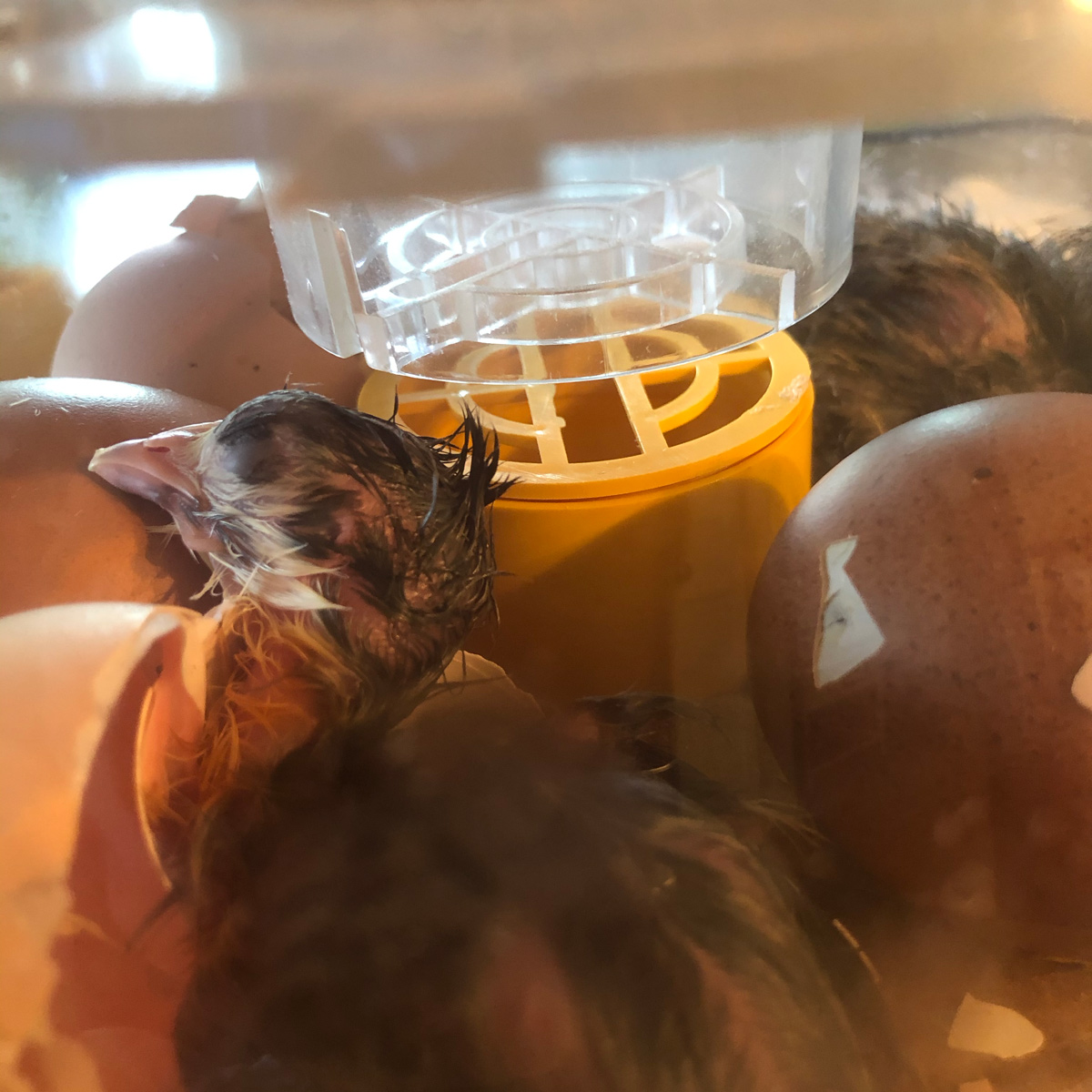 McMurray Hatchery | Chicken School | Candling and Hatching Eggs