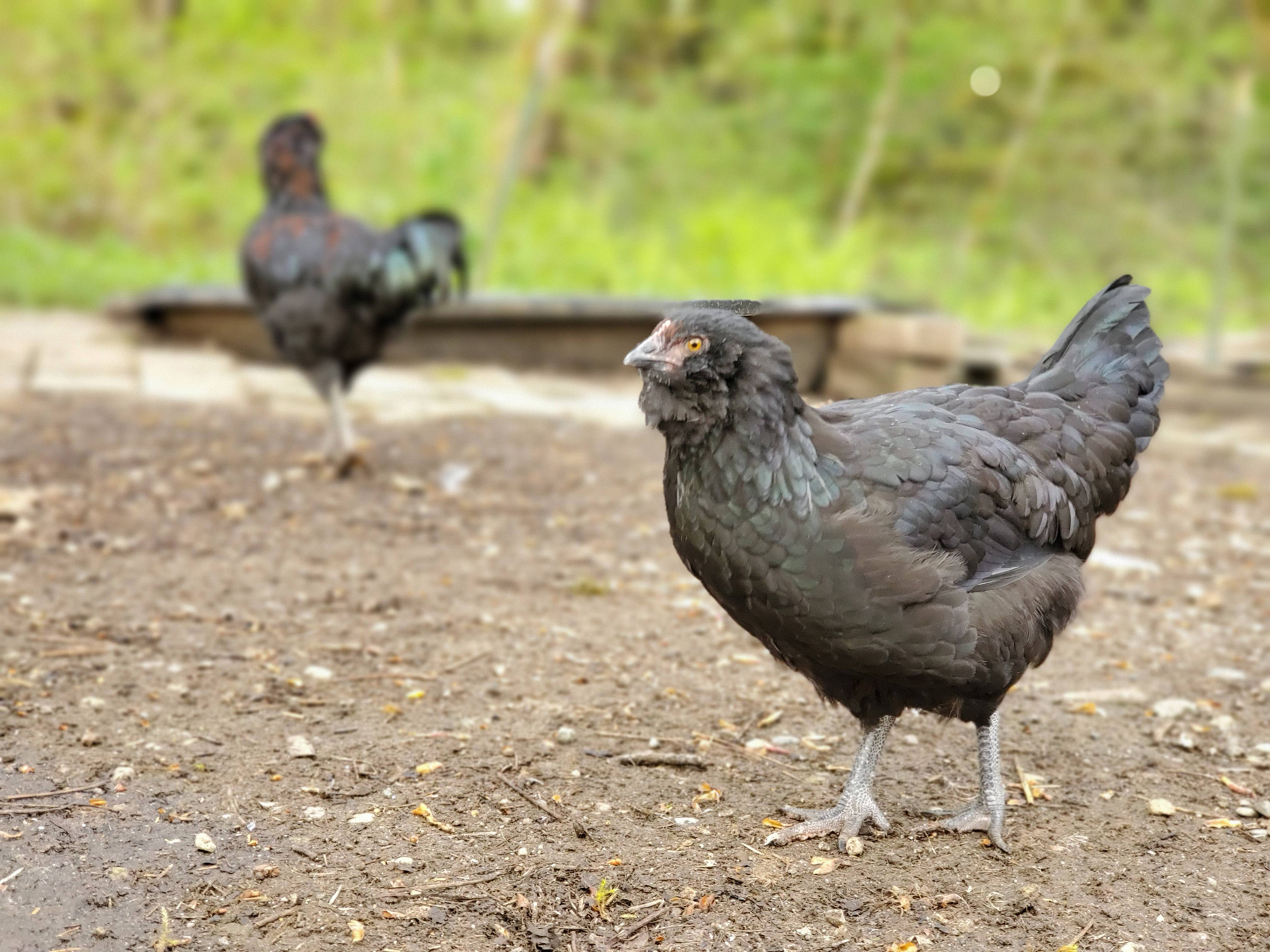 McMurray Hatchery | Homesteading | Raising Free Range Poultry