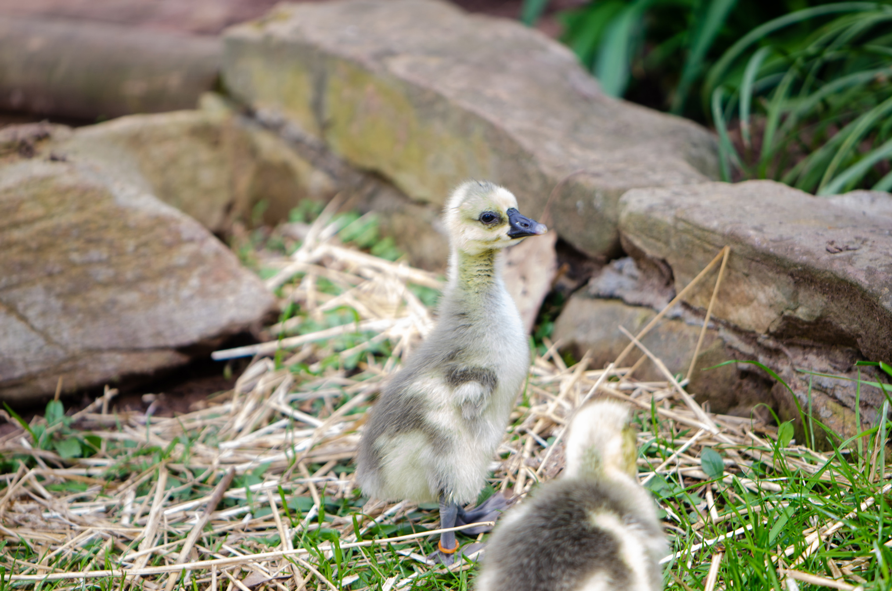 McMurray Hatchery | Using Geese in the Garden | Brown Chinese Geese