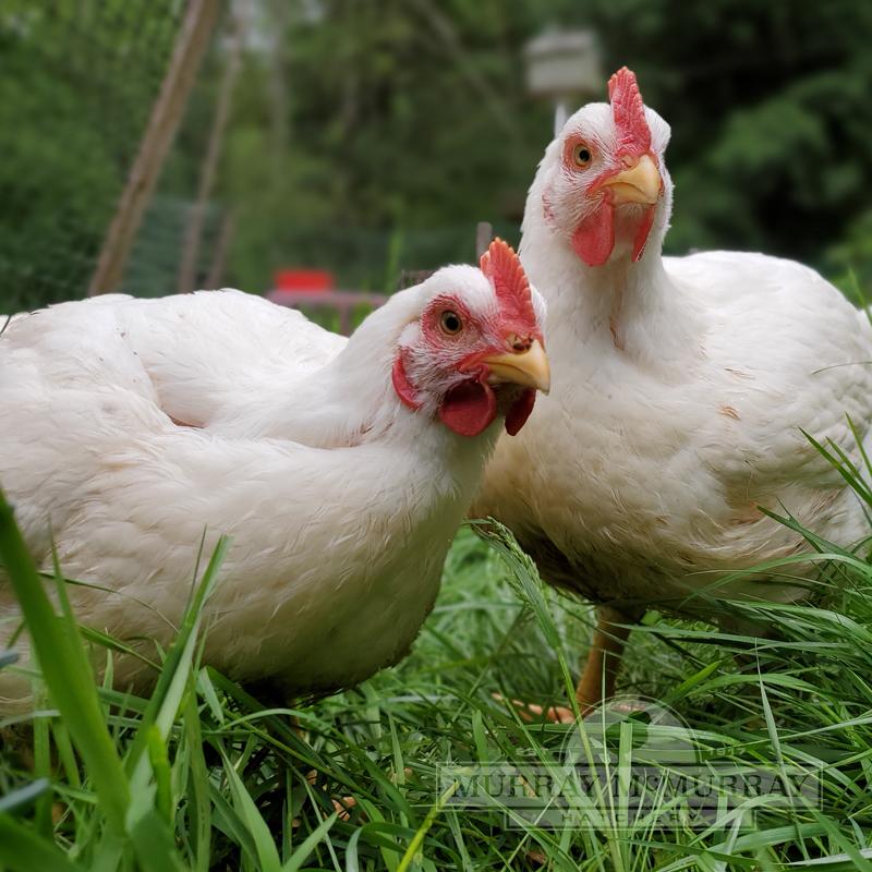 McMurray Hatchery | Ann Accetta-Scott | Cornish Cross Meat Birds