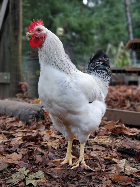 McMurray Hatchery | Meat Birds | Day-Old Baby Chicks | Delaware enhanced Heritage Broilers