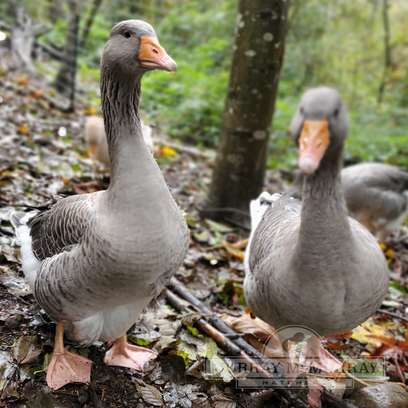 McMurray Hatchery | Waterfowl | Goslings | Toulouse Geese