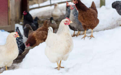 Preparing Your Winter Chicken Coop