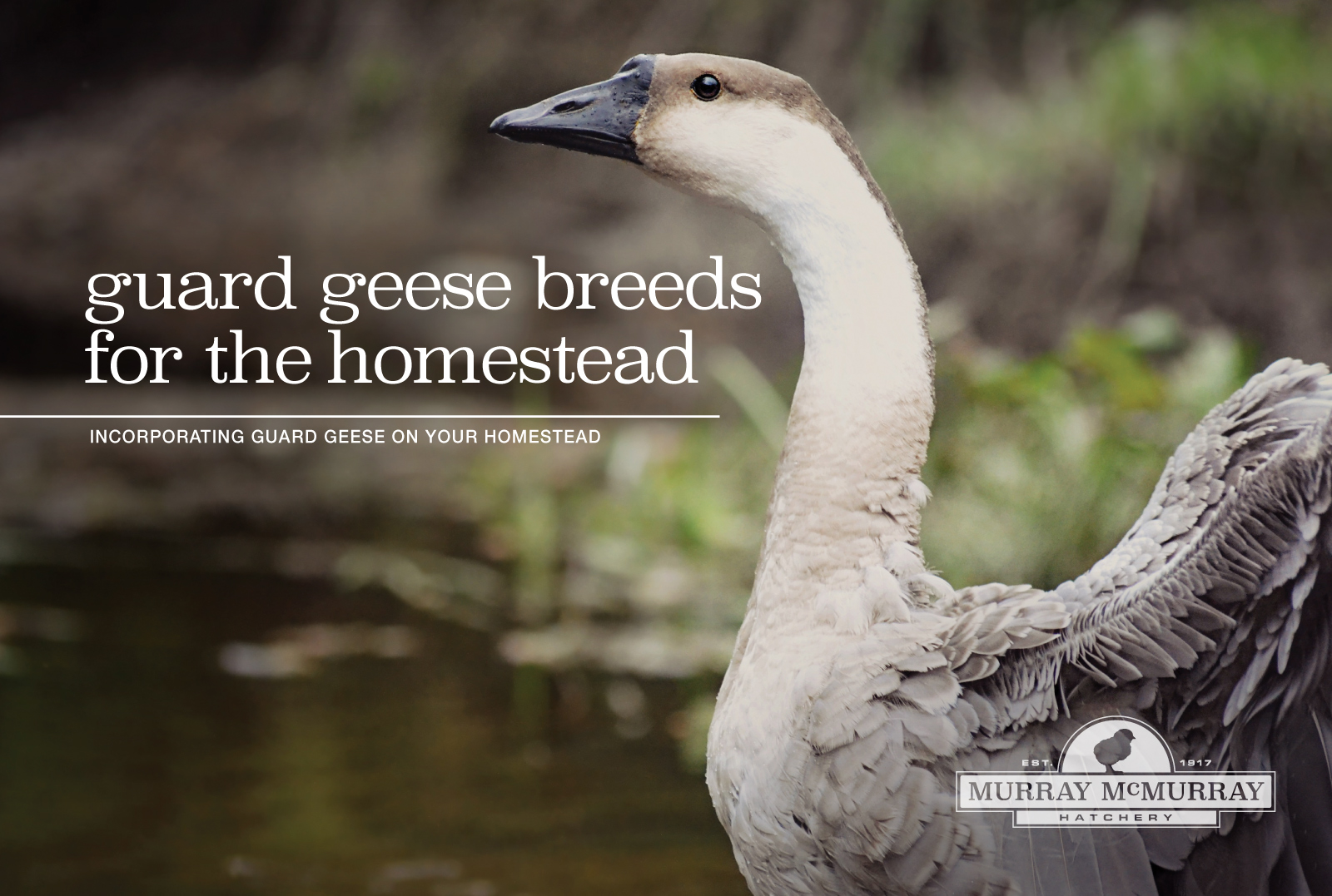 McMurray Hatchery Homesteading Blog | Guard Geese Breeds for the Homestead