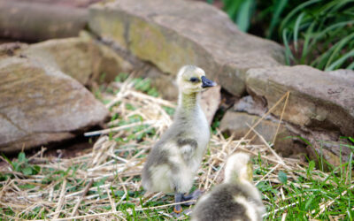Incorporate These Guard Geese Breeds on Your Homestead — Protect Your Flocks