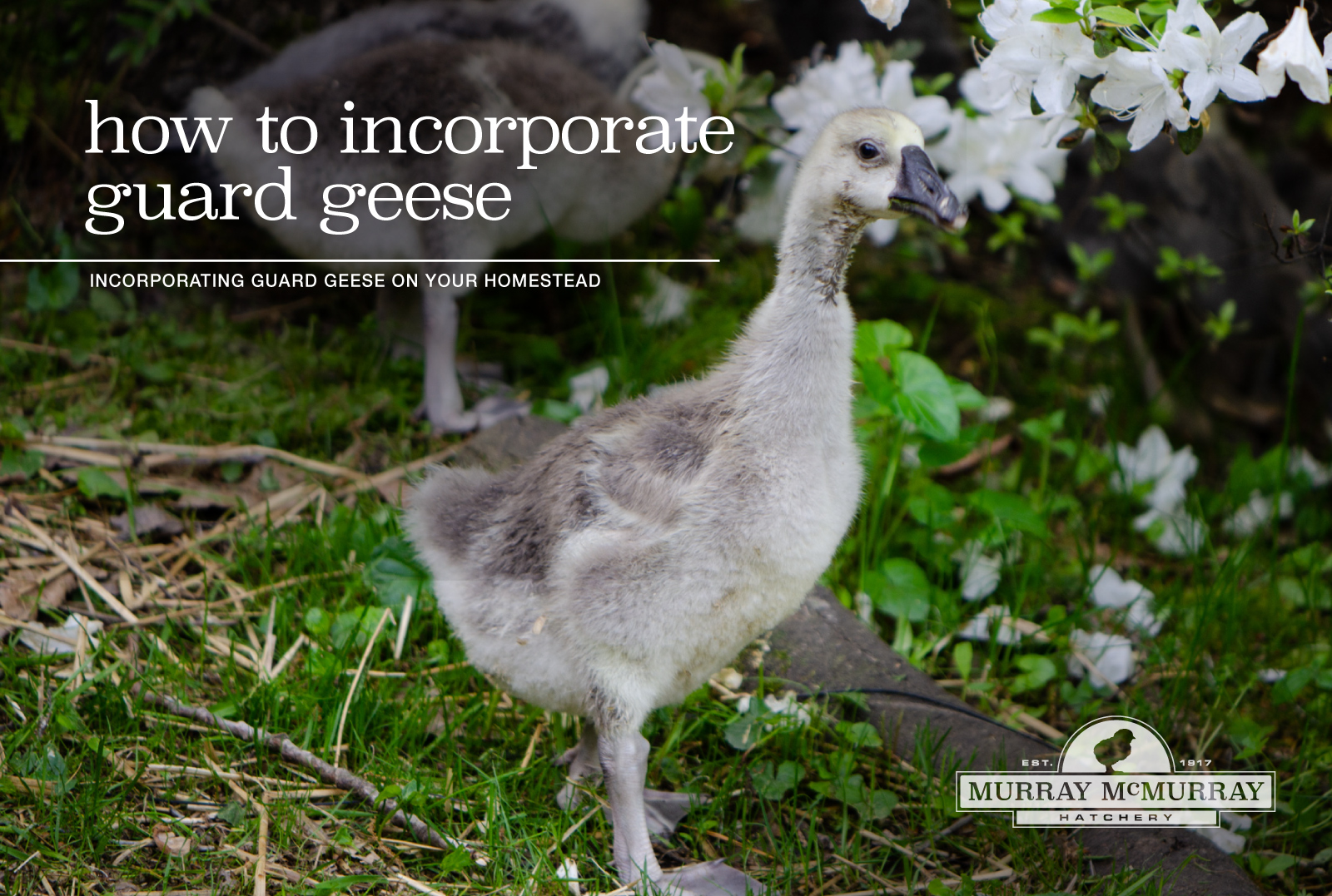 McMurray Hatchery Homesteading Blog | How to Incorporate Guard Geese