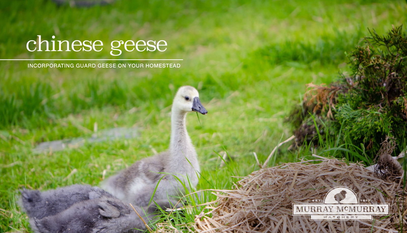 McMurray Hatchery Homesteading Blog | The History of Chinese Geese