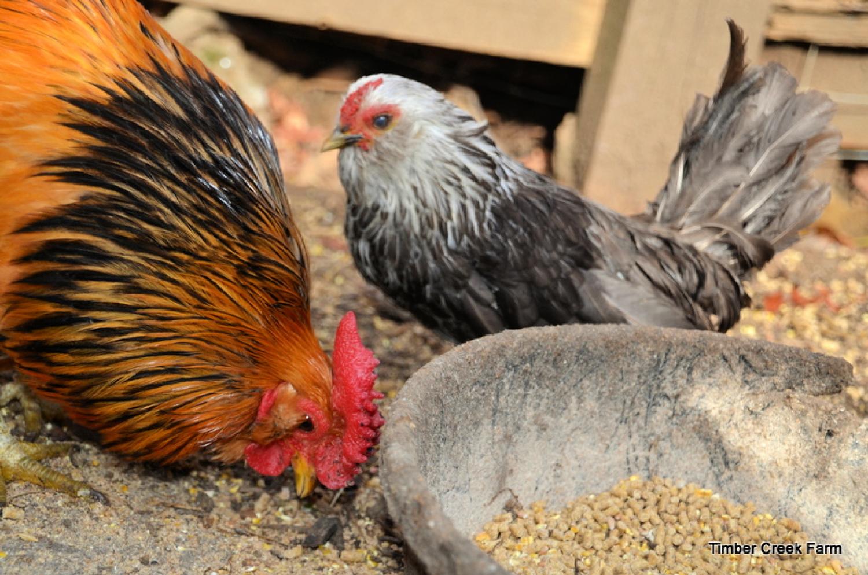 McMurray Hatchery   Raising Bantam Chickens on a Homestead