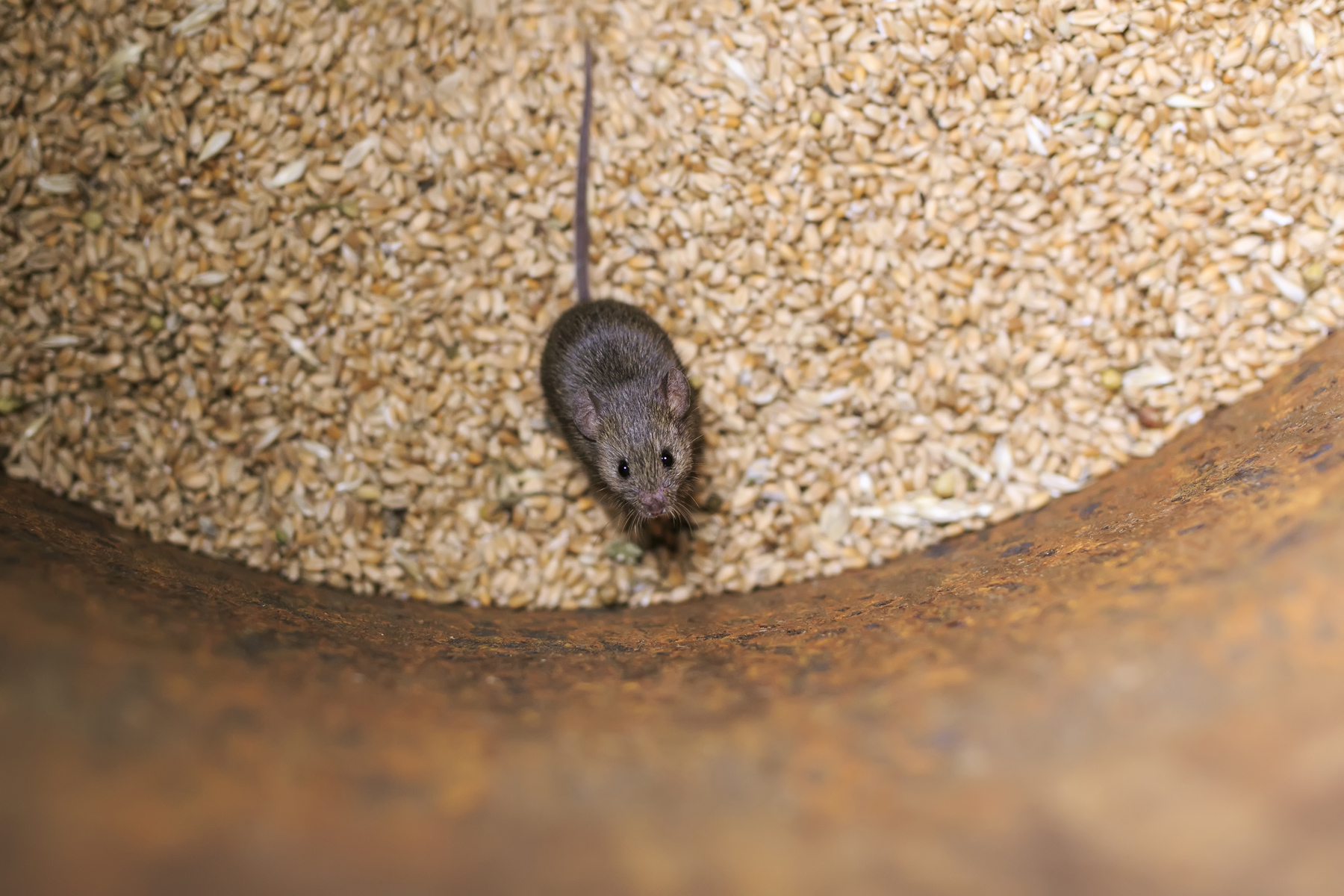 McMurray Hatchery | Snakes Are Attracted to Rodents