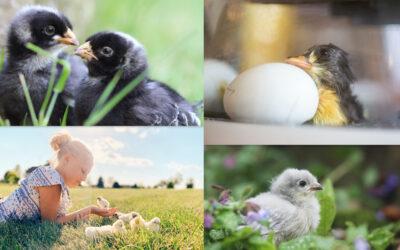 Chick Days Photo Contest Winners