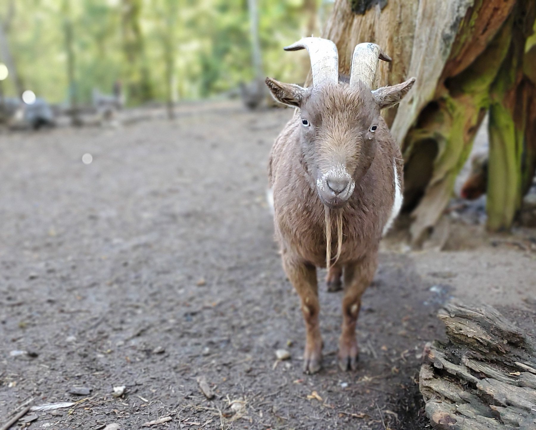 McMurray Hatchery Blog | Easiest Animals to Raise on a Homestead | Goats