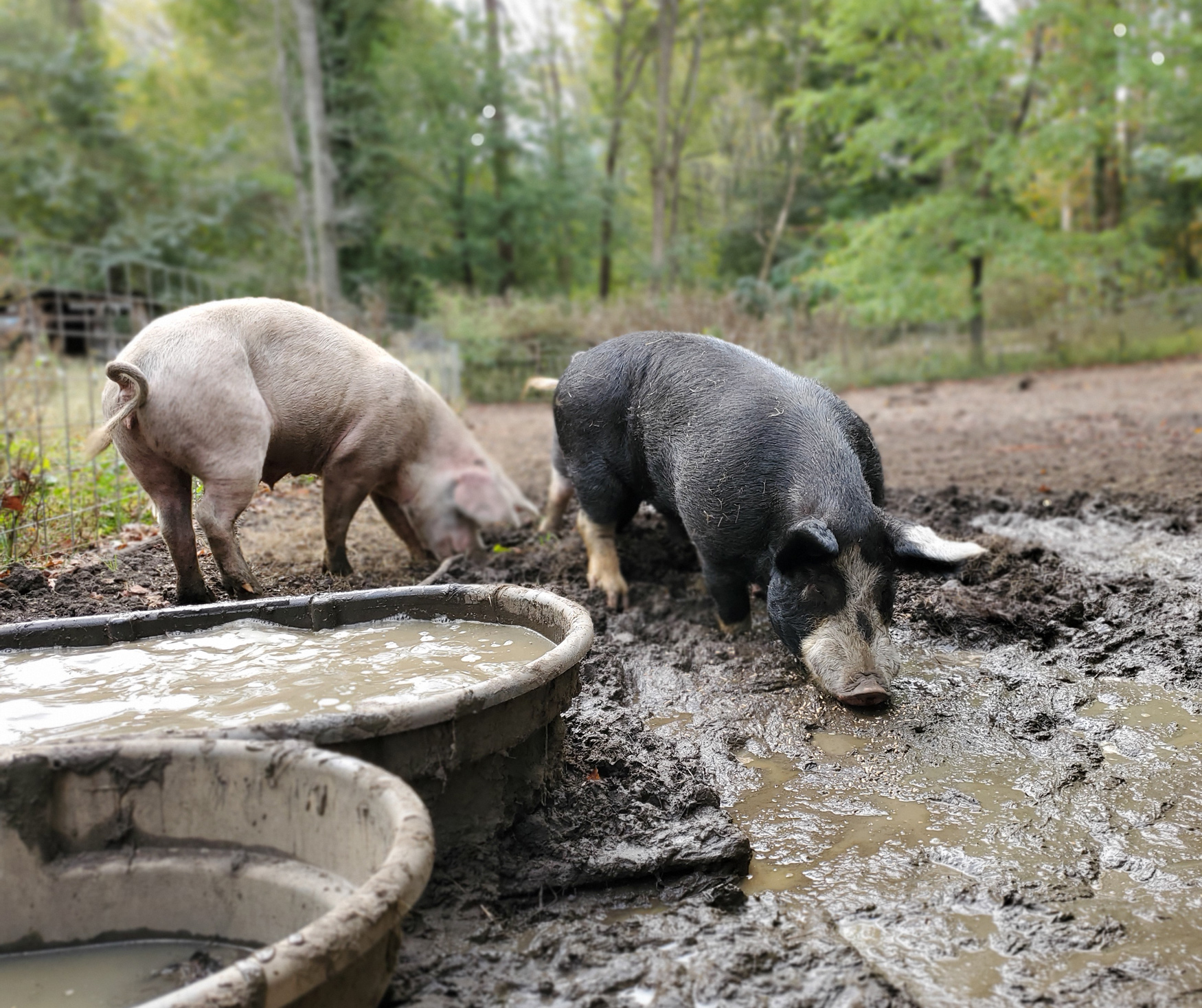 McMurray Hatchery Blog | Livestock for Small Acreage Homesteads  | Pigs