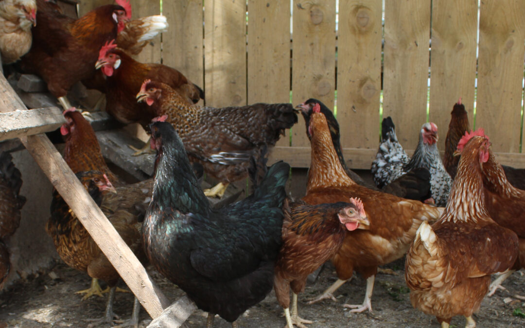 The Easiest Animals to Raise on the Homestead