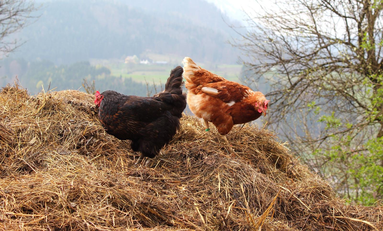 McMurray Hatchery Blog | Composting Chicken Manure Fertilizer