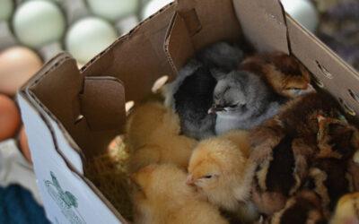 Brooding Fall Chicks